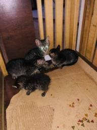 Gatinhos gatos para adoção
