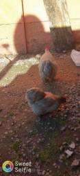 Ovos galados, de Mini cochin lavanda.