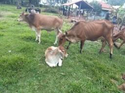 Vendo 3 vacas e 3 bezerros
