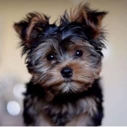 Yorkshire Terrier - Filhote