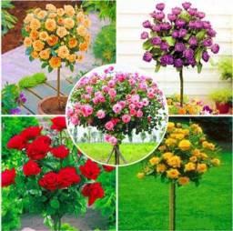60 Sementes Dessas Lindas Rosas Mix