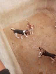 Vendo filhotes de cachorro americano urrador puro