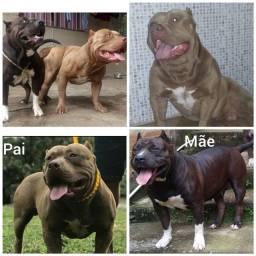 PIT MONSTER fêmea com pedigree