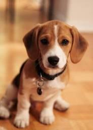 Beagle disponível filhotes