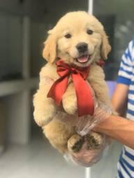Filhotinhos de Golden retriever disponível em loja.
