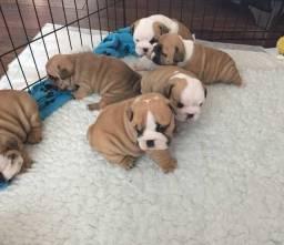 Filhotes de Bulldog inglês disponível em loja.