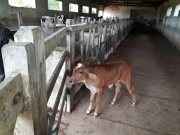 Vacas 1/2 Sangue Holandês