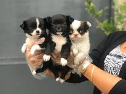 Lindos filhotes de Chihuahua, disponível em loja.