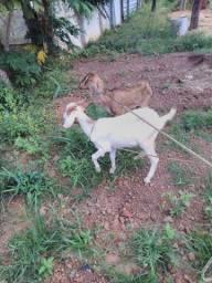 Vendo 3 cabras e 2 bodes