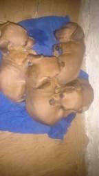 Filhotes de Basset Doshomond (Salsisha)
