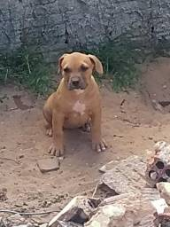 Filhotes de American pitibull terrier com pedigree CBKC