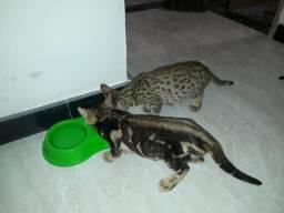 Filhote de gato da raça Bengal