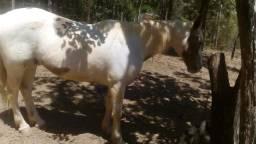 Cavalo Quarto De Milha,lindo