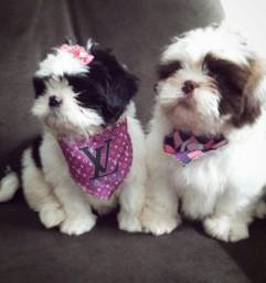 Shih tzu mini fêmea top