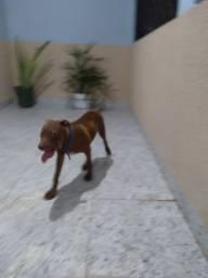 Filhote Pitbull, 4 meses