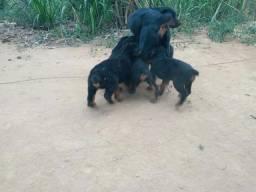 Vendo filhotes de Rottweiler cabeça de touro puro