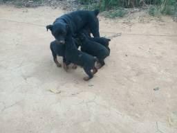 Vendo filhotes de Rottweiler Puro