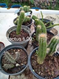 Cactus pequenos