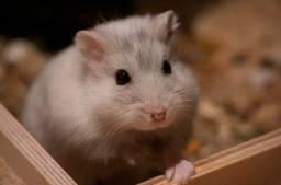 Hamster / Anão Russo
