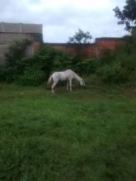 Égua  prenhes de cavalo mestiço