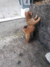 Vendo filhote macho de chow-chow
