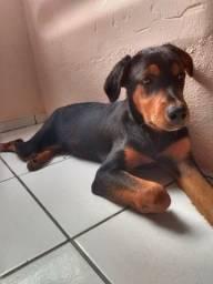 Vendo rottweiler fêmea 4 meses motivo da venda estou grávida e não tenho condições