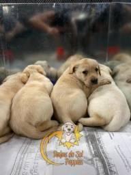 Filhotes de Labrador Amáveis