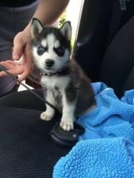 Husky Siberiano todos pedigree e suporte veterinario