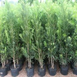 Pudocarpo planta