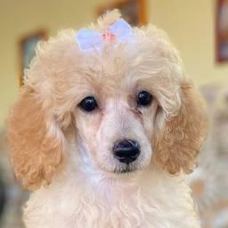 Poodles com pedigree lindíssimos em até 10x no cartão
