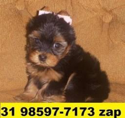 Canil Top Filhotes Cães BH Yorkshire Beagle Pug Maltês Shihtzu Lhasa