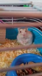 Hamster anão russo (fêmea) 2meses