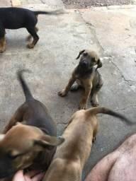 Vendo filhote de fila brasileiro