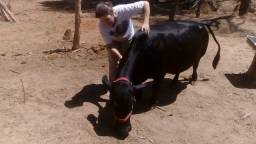 Vendo vaca Santa Rosaria com prenhes confirmada