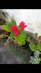 Mudas de Plantas, flores e etc