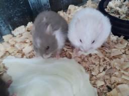 Filhotes de hamsters sírios