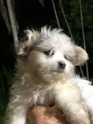 Lindo filhote de Maltês com Chihuahua