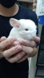 Chinchila Macho bebe Branco