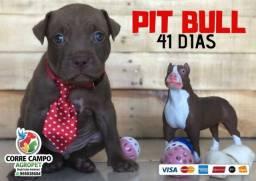 Pitbull 41 dias