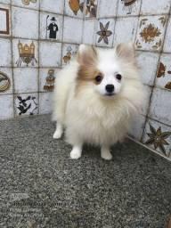 Lulu da Pomerania