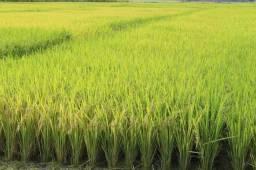Adquira suas lavouras de arroz!!