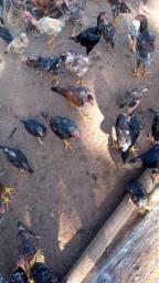 Vende se frangos caipira vivos