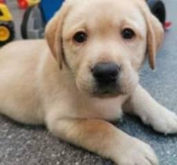 Filhote macho Labrador