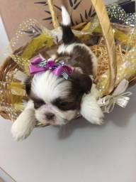Shih Tzu disponíveis em loja, filhotes com pedigree e contrato, informações