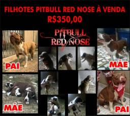 Pitbulls Red Nose puro