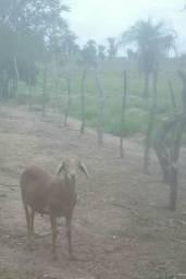 Carneiro da raça berganeis