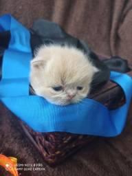 Venda e reserva de gato persa macho e fêmea