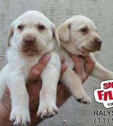 Labrador linhagem campeã - filhotes com pedigree - 11972-7277-78