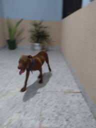 Filhote Pitbull. 4 meses