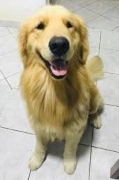 Golden Retriever Macho com Pedigree procura Namorada - Cruza